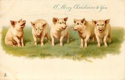 A MERRY CHRISTMAS TO YOU  five pigs in a line on grass