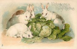 WISHING YOU A MERRY CHRISTMAS  four white rabbits eat cabbage leaves