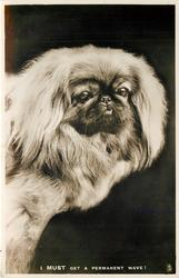 PEKINGESE  I MUST GET A PERMANENT WAVE!