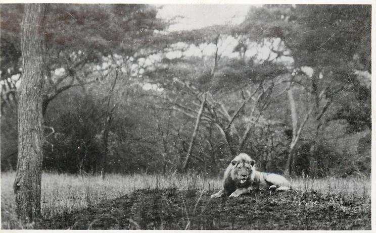 A LION TANGANYIKA TERRITORY