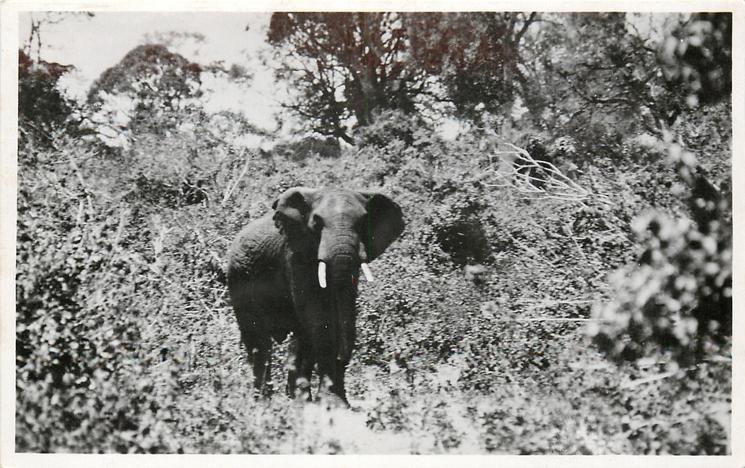 BULL ELEPHANT  KENYA COLONY