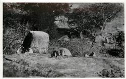 LIONS  TANGANYIKA TERRITORY