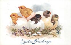 five chicks hatching, two yellow, three dark