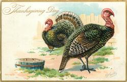 two large turkeys, female in front looks right, male behind looks left, tub lower left