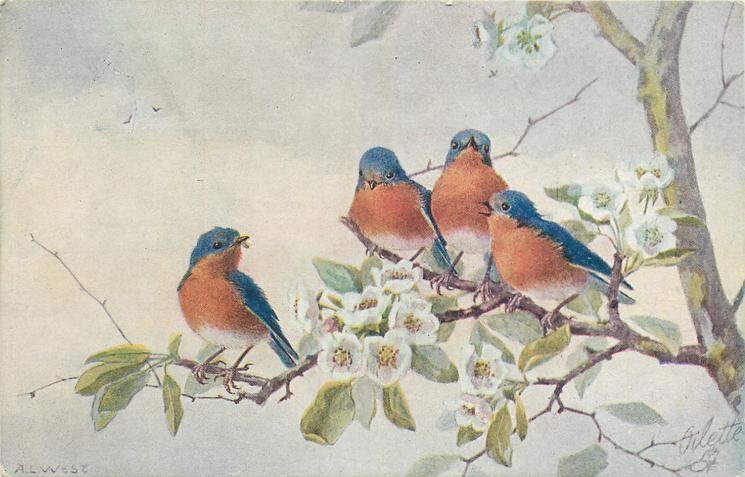 four blue birds with red breasts on dogwood
