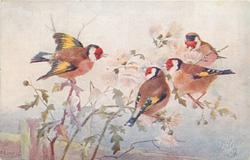 four red faced yellow & black winged finches on fluffy seed heads