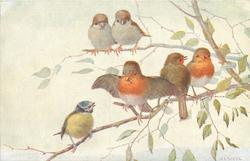 three robins and a blue tit on lower branch, two brown white-breasted birds above