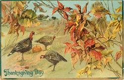autumn scene, three turkeys in field, pumpkin between them, house in background