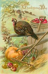 hen turkey sits on two rail fence, rake and pumpkin below, barrel of apples behind