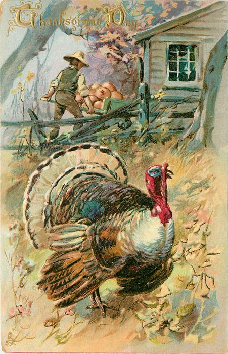tom turkey standing front, man wheels barrow of pumpkins behind fence, house upper right