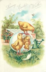 LOVING EASTER WISHES  four chicks with broken egg in front of garden frame & watering-can
