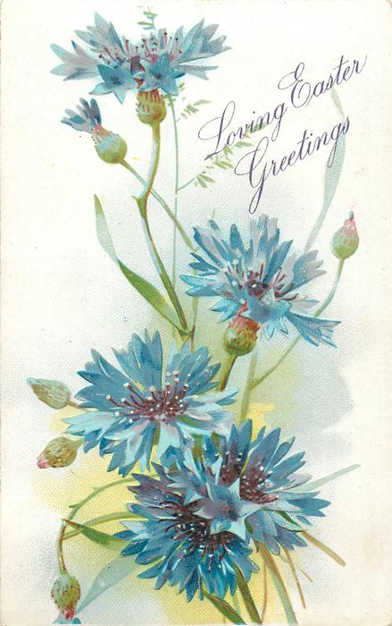 LOVING EASTER GREETINGS  cornflowers (batchelor buttons), five blue flowers & buds