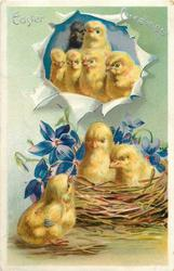 EASTER GREETINGS  one chick sits on ground, two sit in nest surrounded by blue violets, six others above