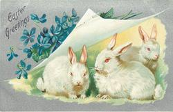 EASTER GREETINGS  three rabbits, paper peeled up to reveal three white rabbits, blue violets above