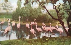 CRANES  picture shows flamingos