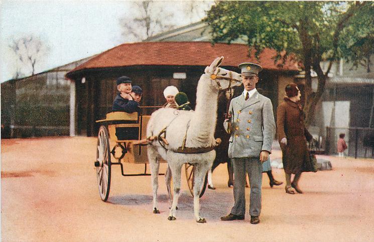 LLAMA  llama pulls cart
