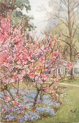 trees with red/pink blossoms, bluebells under the trees