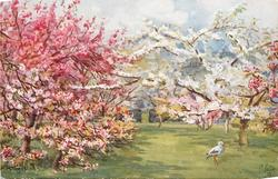trees with pink blossoms left, tree with white blossoms right, stork on grass