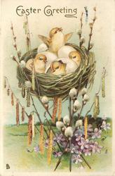 EASTER GREETING  four chicks & eggs in nest, pussy willow, catkins & violets below