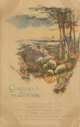 GREETINGS FOR YOUR BIRTHDAY  sheep driven front, heather, birch trees