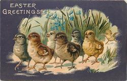EASTER GREETINGS  seven chicks walk left in front of bluebells
