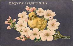 EASTER GREETINGS  chick surrounded by branch of red/ pink blossom