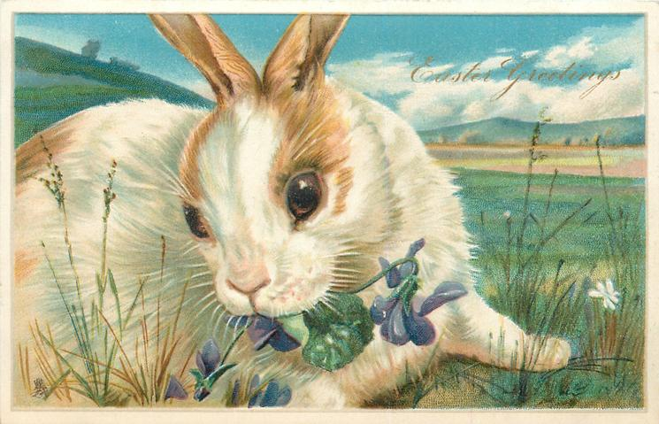 EASTER GREETINGS  white rabbit  with brown patches, facing right, looking front, eating violets