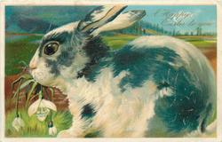A HAPPY EASTER TO YOU  white rabbit  with black patches, facing & looking left, eating snowdrops