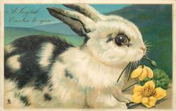 A JOYFUL EASTER TO YOU  white rabbit  with black patches facing & looking right, eating yellow hellebores