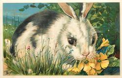 EASTER GREETINGS  white rabbit  with black patches, facing right, looking front, eating primroses