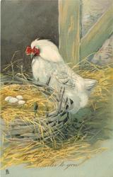 A JOYFUL EASTER TO YOU  white hen looking at four eggs in nest