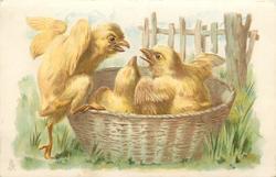 three chicks in basket