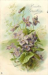 EASTER GREETING  violets before grassy field
