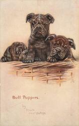BULL PUPPIES