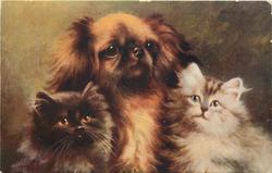 THE BEST OF FRIENDS  pekingese between two kittens