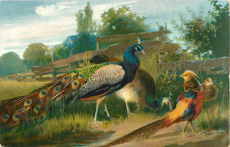 oriental pheasant & peacocks