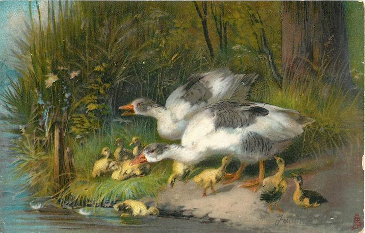 geese and goslings by water