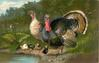 turkeys and poults by water