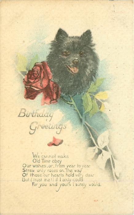 BIRTHDAY GREETINGS black pomeranian dog, red rose - TuckDB Postcards