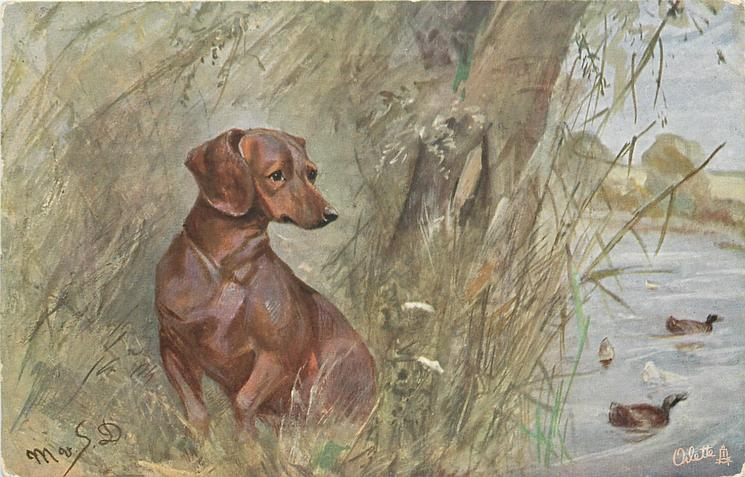 dachshund sits at river bank, ducks on water  right