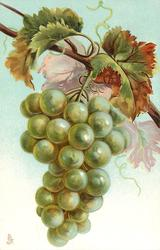 bunch of green grapes hanging from vine