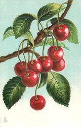 bunches of cherries hanging from branch