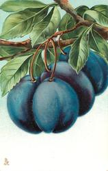 four purple plums hanging from branch