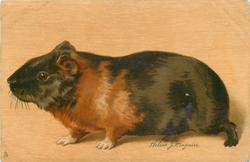 black & brown guinea pig facing left