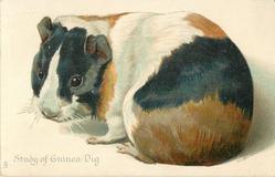 STUDY OF GUINEA-PIG