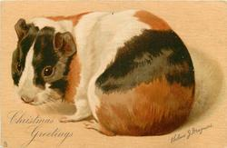 CHRISTMAS GREETINGS brown, black and white guinea pig facing left