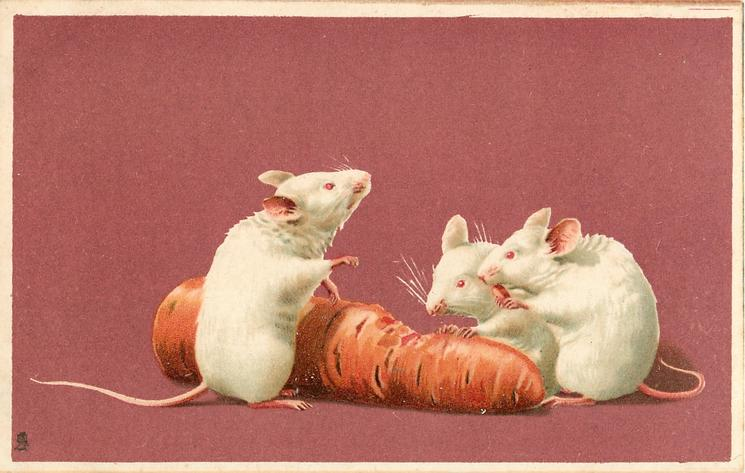 three white mice eating carrot