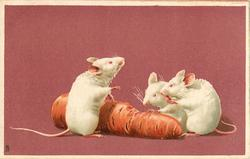 three white mice eating carrot