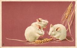 three white mice eating grain