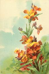 bronze/yellow wallflowers